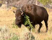 Bison wearing natures necklace
