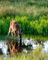 Fawn at Dawn. Winner of the 75th anniversary of Skyline Drive photo contest.