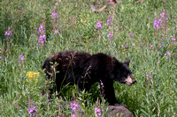 Black bear in wildflowers